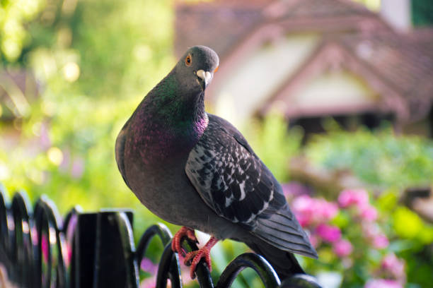 Pigeon posing Pigeon posing pigeon stock pictures, royalty-free photos & images