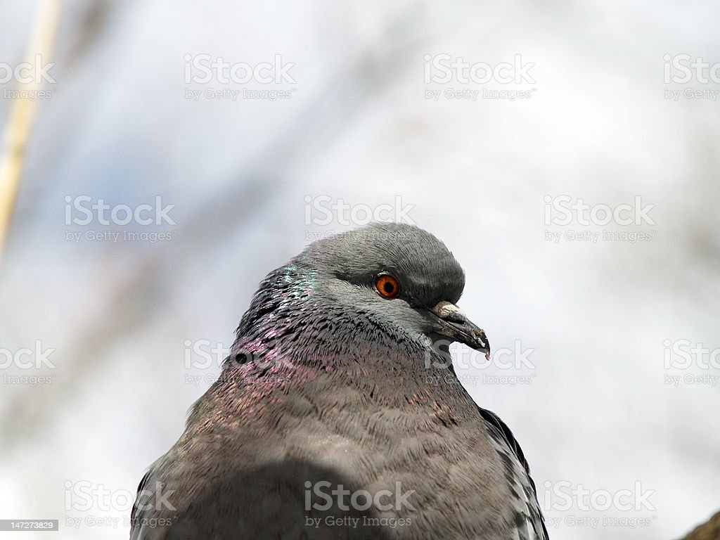 Pigeon profile portrait royalty-free stock photo