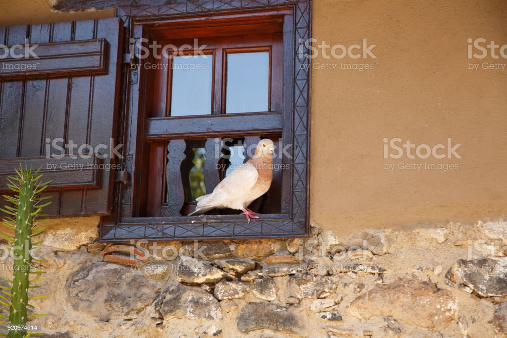 Pigeon sitting on the window stock photo