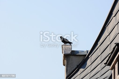 istock Pigeon standing on top of house as symbol of freedom 637371790