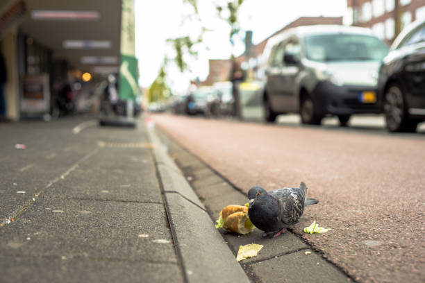 Pigeon stands on the sidewalk eating a sandwich stock photo