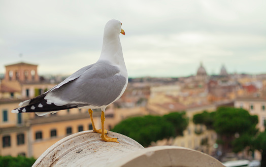 pigeon watching at Rome city