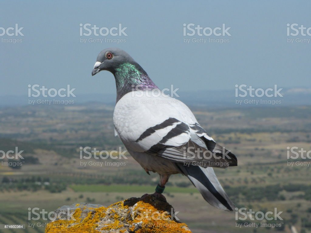 Pigeon watching stock photo