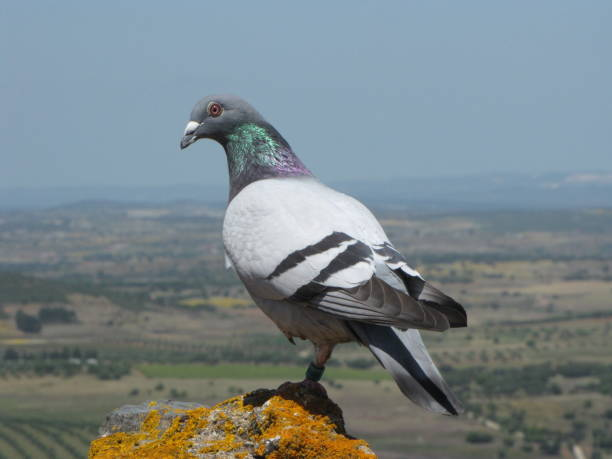 Pigeon watching - fotografia de stock