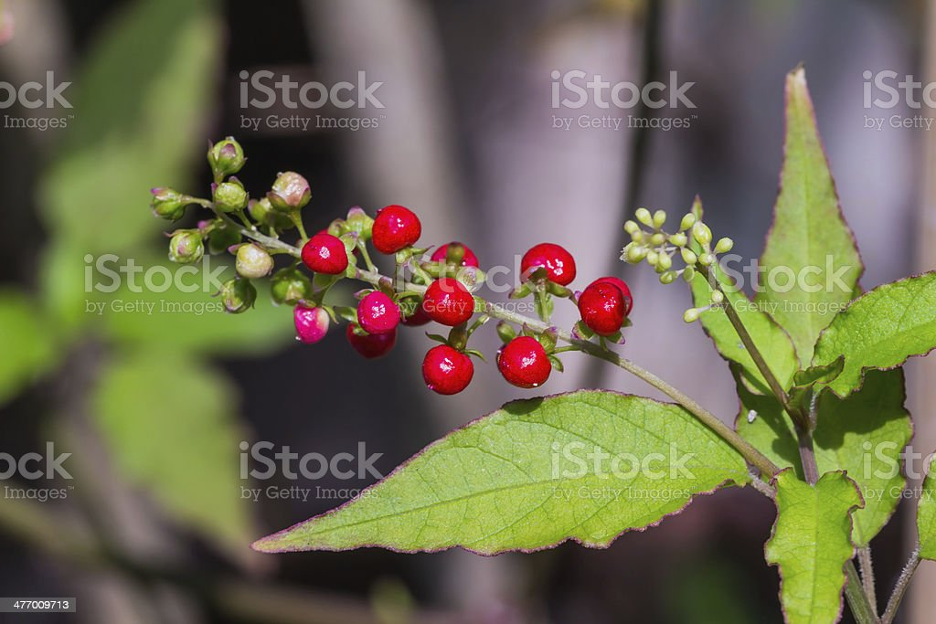 Pigeonberry stock photo