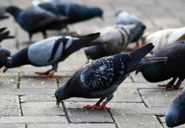 pigeons are eating together stock photo