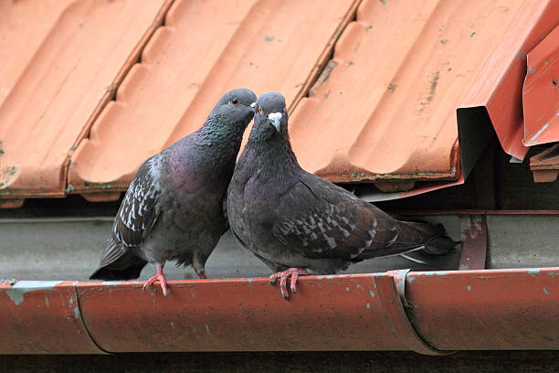 pigeons being affective two tender pigeon being affective on the roof affective stock pictures, royalty-free photos & images