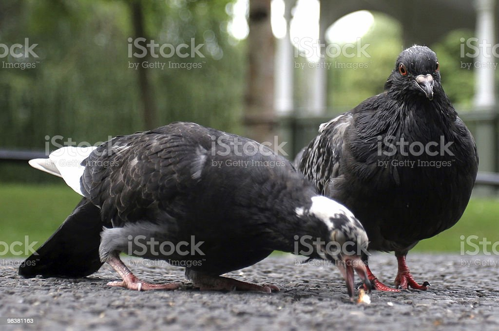 Pigeons Feeding royalty-free stock photo