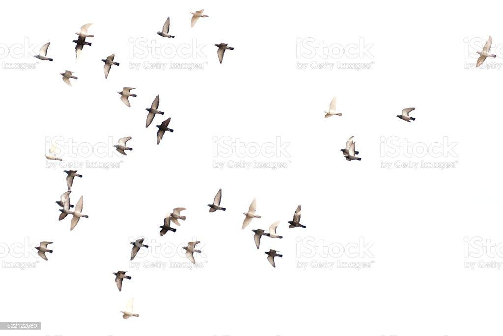 Pigeons flying stock photo