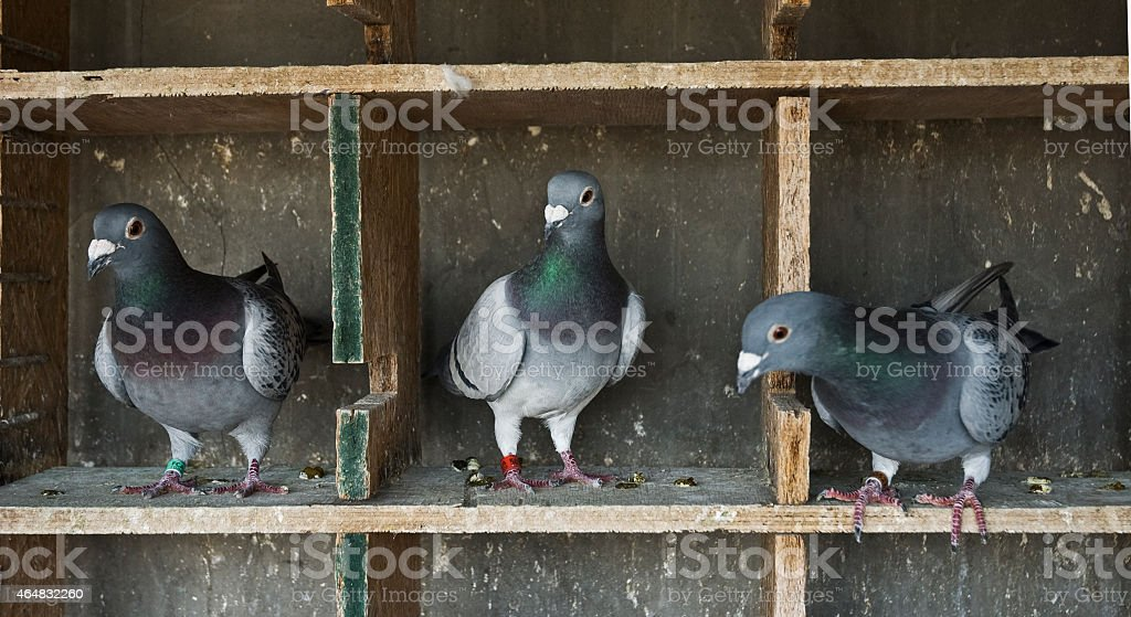 pigeons homing stock photo