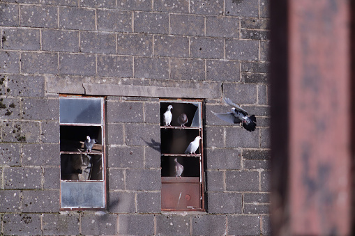 Some pigeons are perched on window frame ledges of a barn with one flying and coming into land.