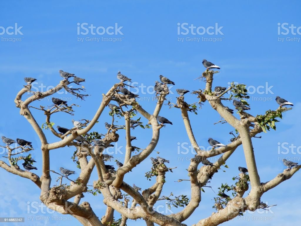 Pigeons in a Coral Tree stock photo