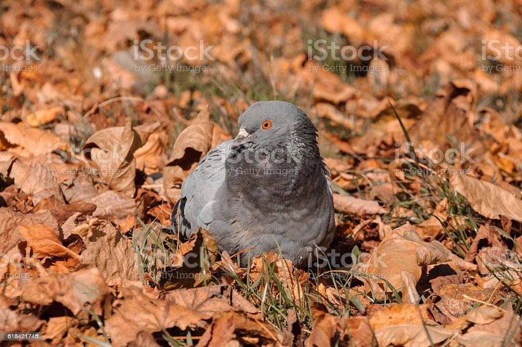 Pigeons in autumn scenery stock photo