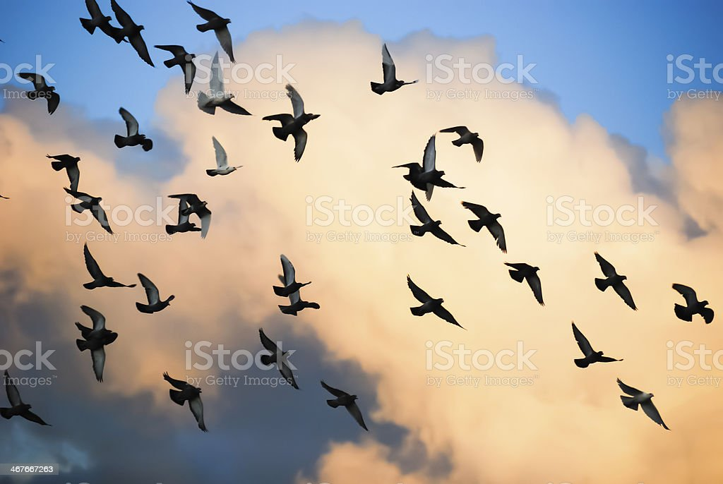 Pigeons in flight silhouetted against evening sky. stock photo