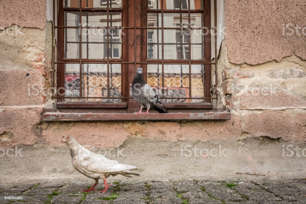 Pigeons in front of a old building window stock photo