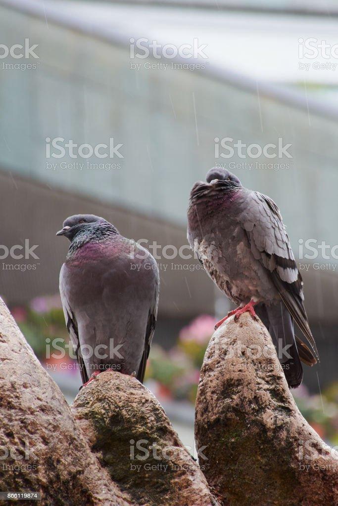 Tauben in Mainzer Innenstadt im Regen stock photo