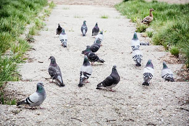 비둘기 파크 스톡 사진