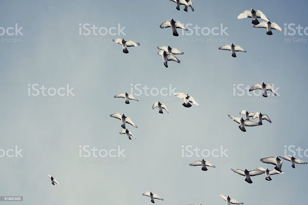 Pigeons in the sky royalty-free stock photo