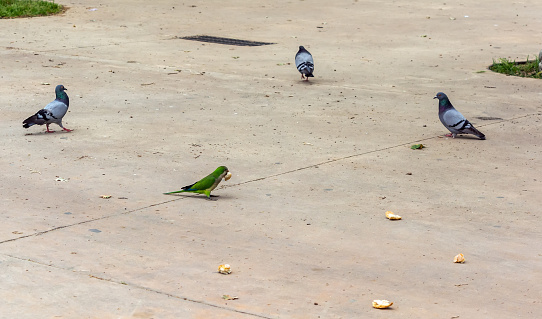 Pigeons looking at green parrot