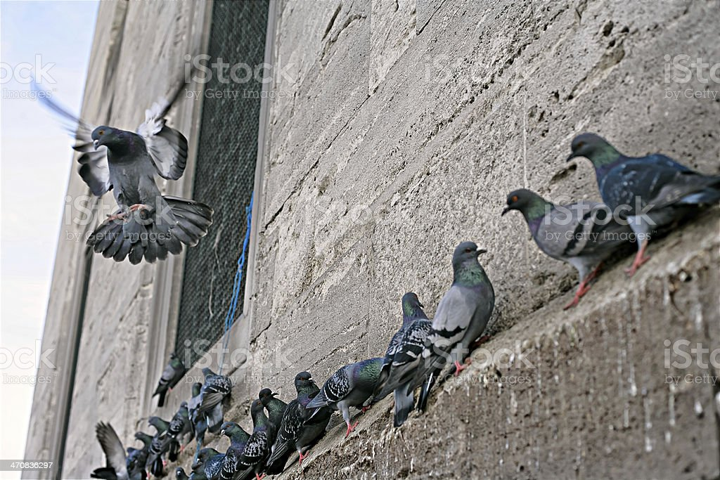 pigeons of yeni cami mosque stock photo