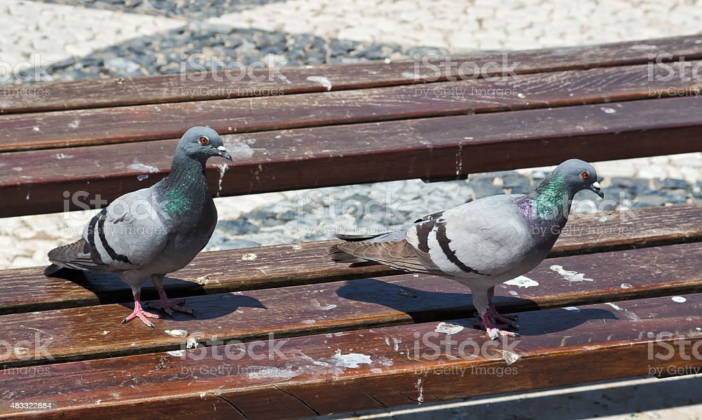 Pigeon's on a Park Bench stock photo