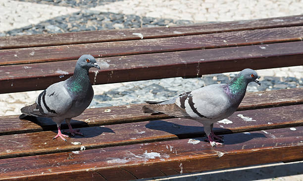 Pigeon's on a Park Bench Two pigeons look around on a dirty park bench. poop stock pictures, royalty-free photos & images