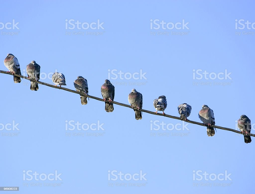 Pigeons on a Wire stock photo