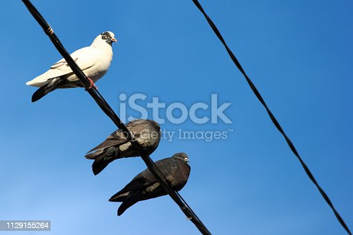 Pigeons on electrical wires against blue sky background