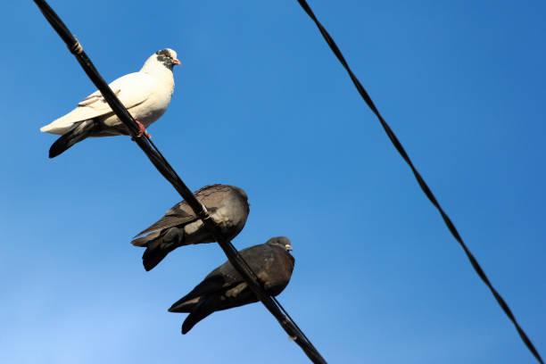 duiven op elektrische draden tegen blauwe hemelachtergrond - neerstrijken stockfoto's en -beelden