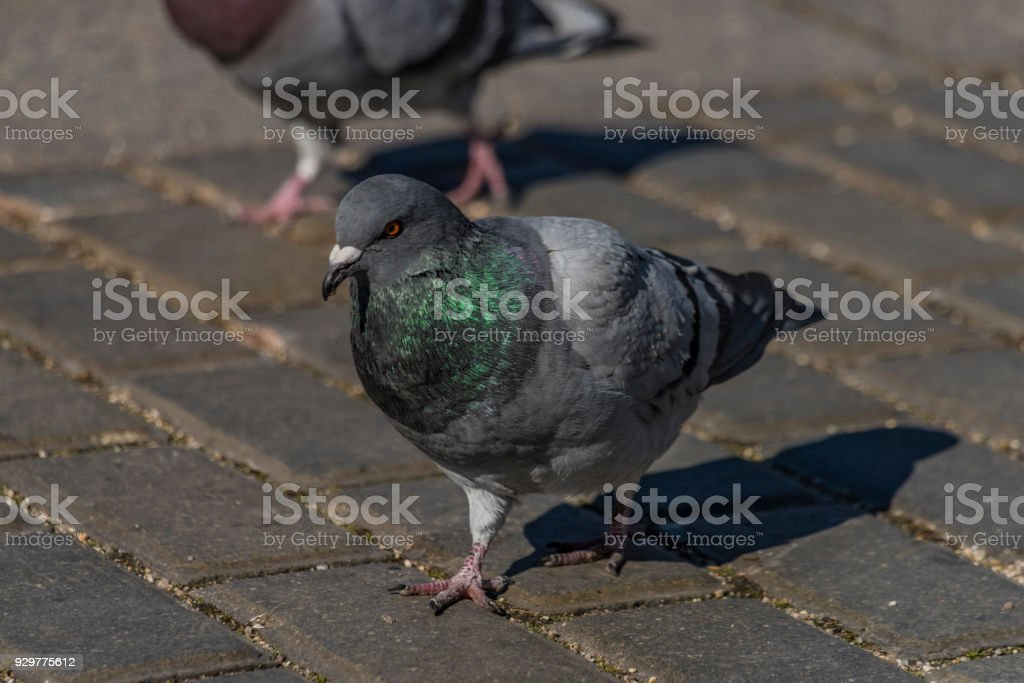 Pigeons on pavement in center square in Ceske Budejovice stock photo