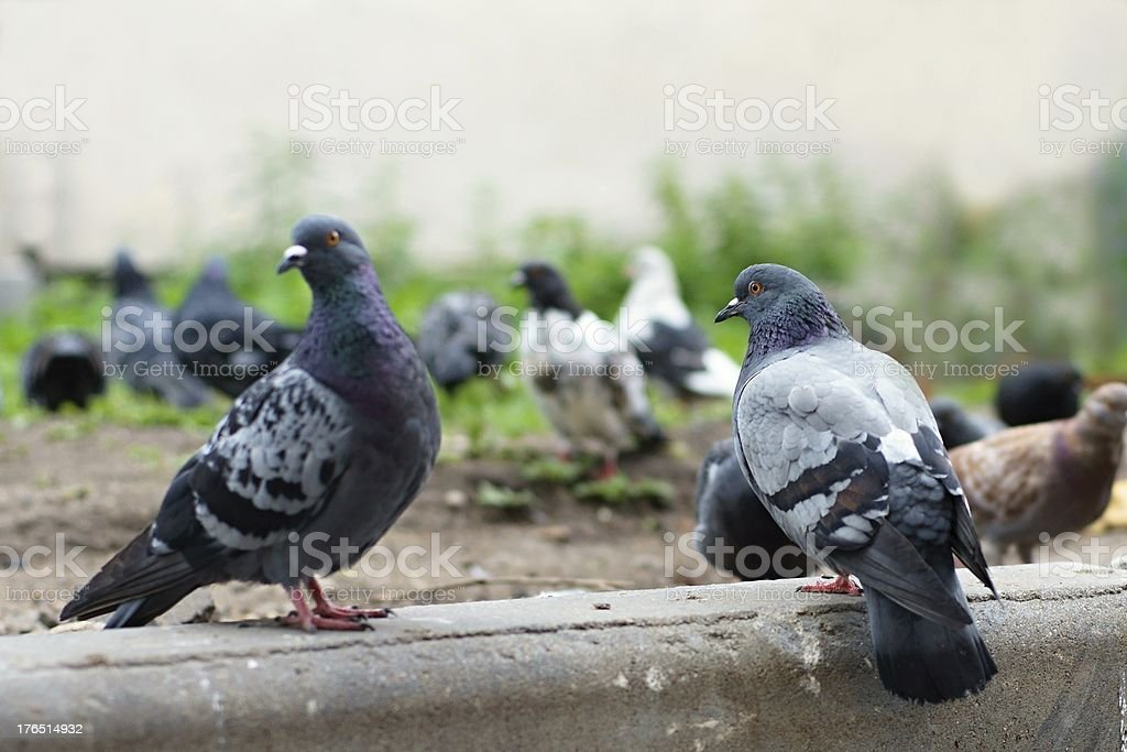 Pigeons on the earth royalty-free stock photo