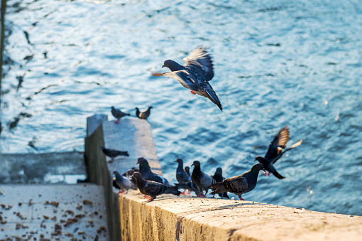 Pigeons on the steps of the embankment of the river Seine eat bread. Paris. France.