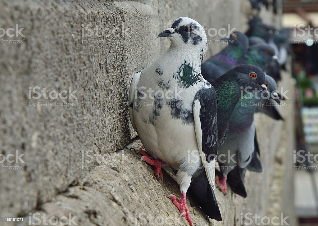 Pigeons on the Yeni Cami Mosque wall royalty-free stock photo