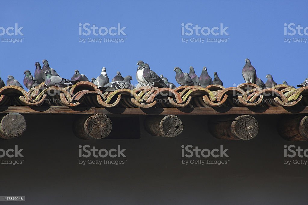 Pigeons on Tile Roof stock photo