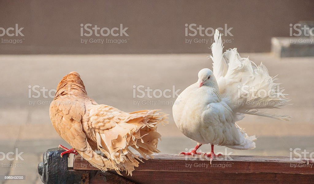 Pigeons - peacocks Lizenzfreies stock-foto