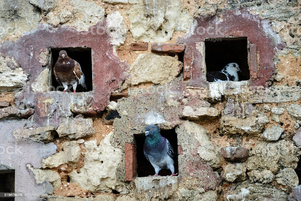 Pigeons perched in old stone wall stock photo