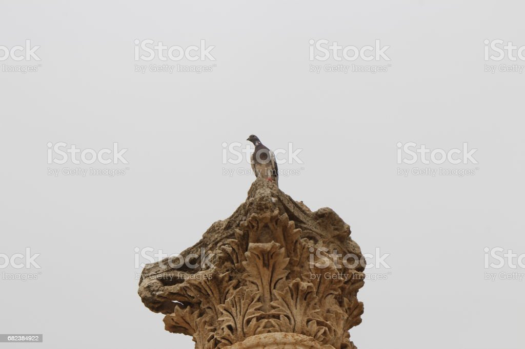 Pigeons royalty free stockfoto