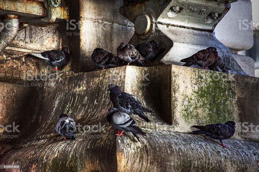 Pigeons roosting in old, grungy urban stonework / bricks. stock photo
