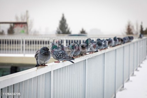 Pigeons sitting on the railing of a Nusle bridge on a winter day in Prague