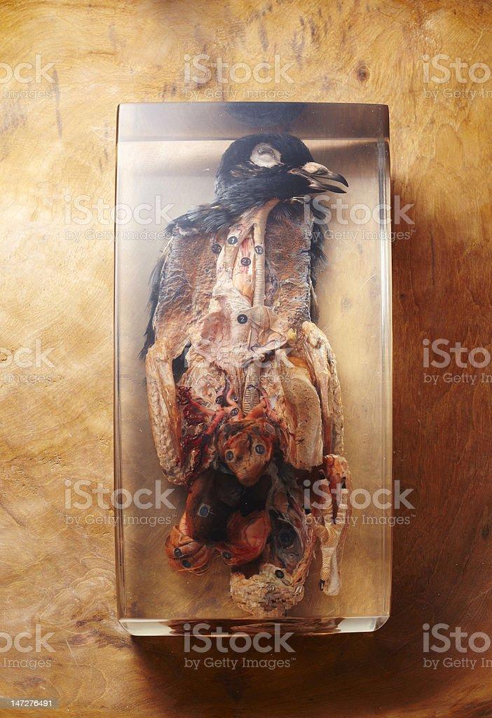 Pigeon's specimen stock photo