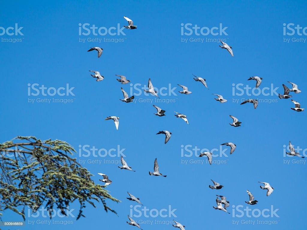pigeons swarm stock photo