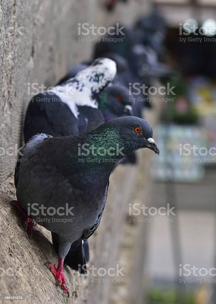 Pigeons wall royalty-free stock photo
