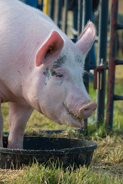 pigging out stock photo
