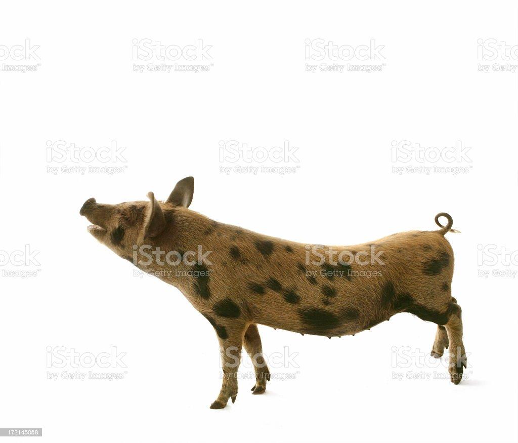 Piggy Conversation royalty-free stock photo