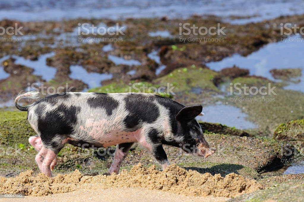 Piglet at beach stock photo