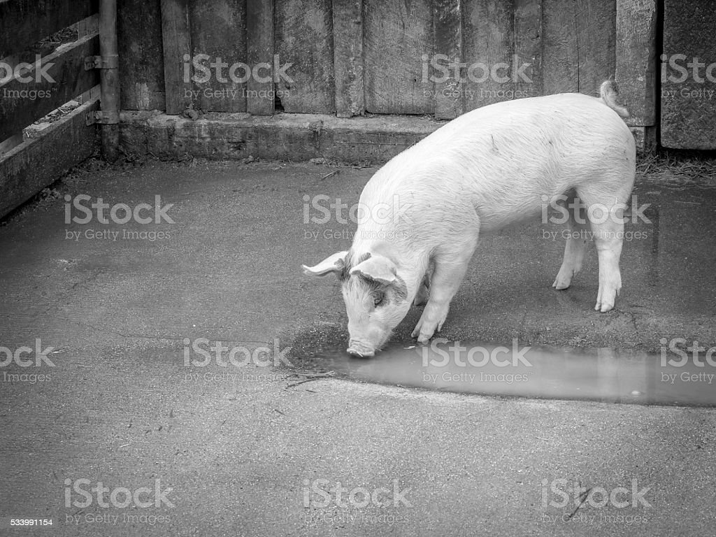 Piglet Drinking from Muddy Water stock photo