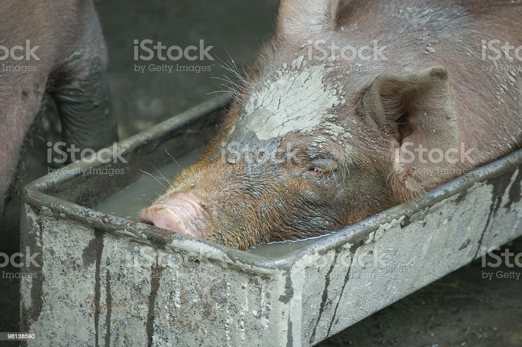 Piglet in a Trough royalty-free stock photo