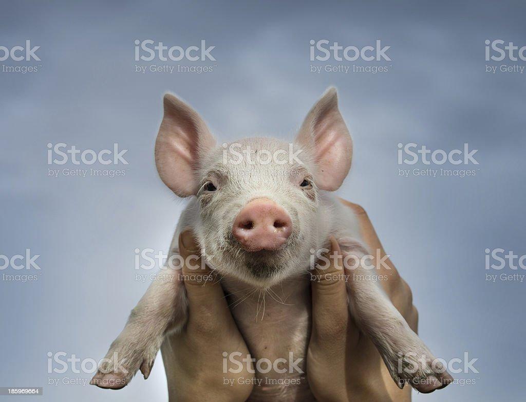 Piglet in sky stock photo