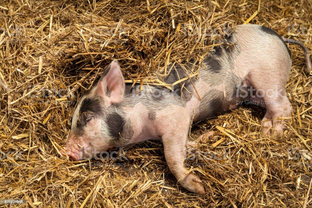 Piglet in Straw stock photo