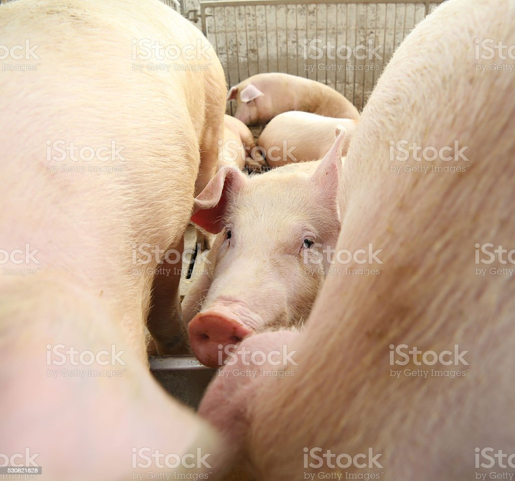 piglet in the sty in the midst of other pigs stock photo